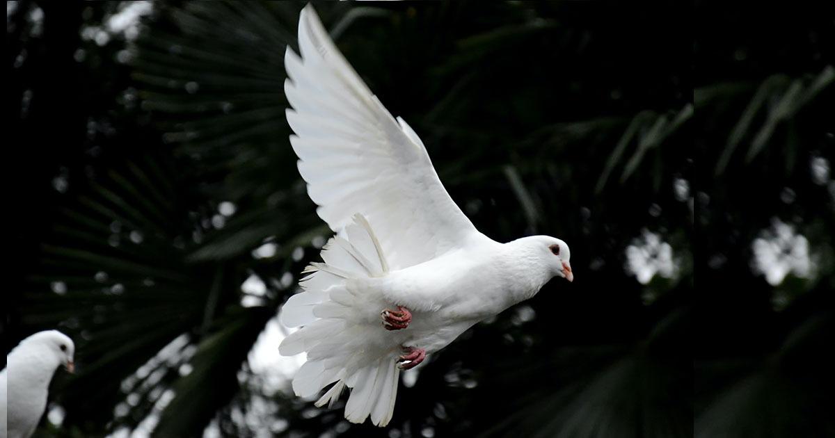 Доброто - бяло гълъбче